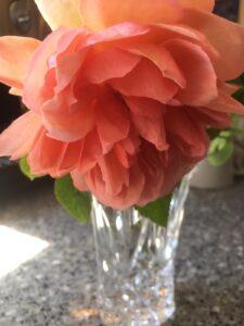 The Elizabeth von Arnim rose